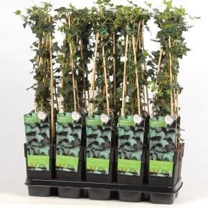 Hedera helix (Hoogeveen Plants)