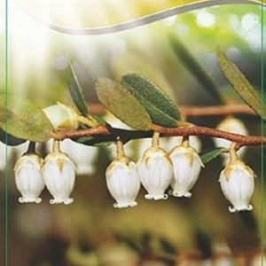 Chamaedaphne calyculata 'White Bells' (Dool Botanic)