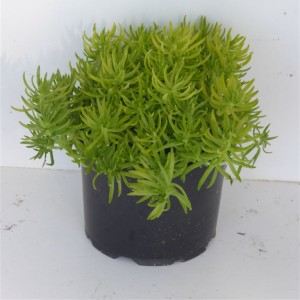 Sedum 'Lemon Ball'