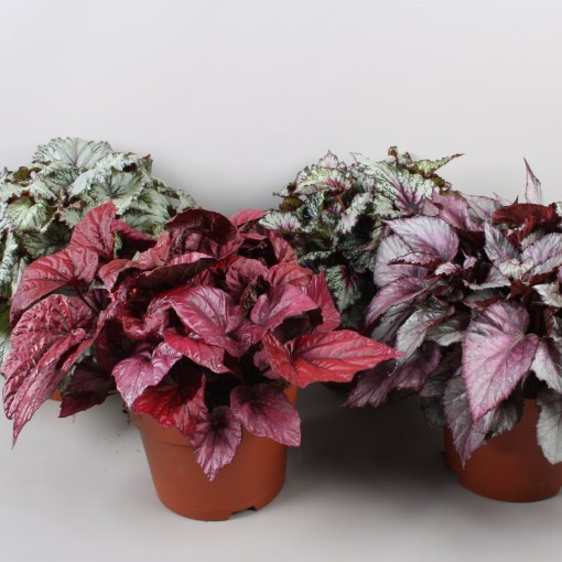 Begonia BELEAF MIX (Berghoef Plants)
