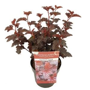 Physocarpus opulifolius 'Rubella'