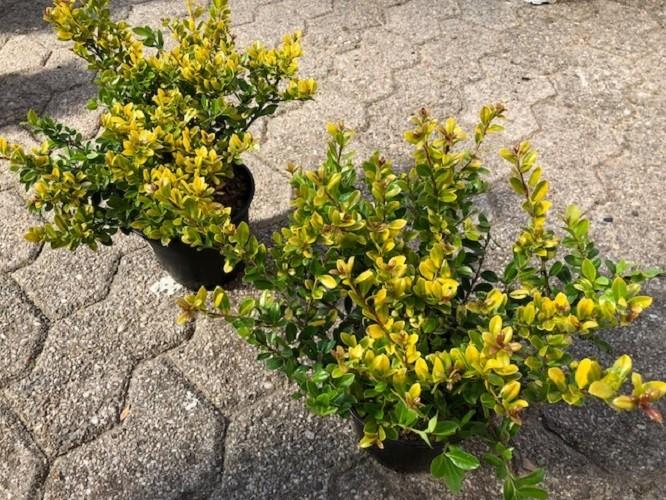 ilex crenata 39 golden gem 39 p13cm h25cm floraccess wholesale of plants. Black Bedroom Furniture Sets. Home Design Ideas