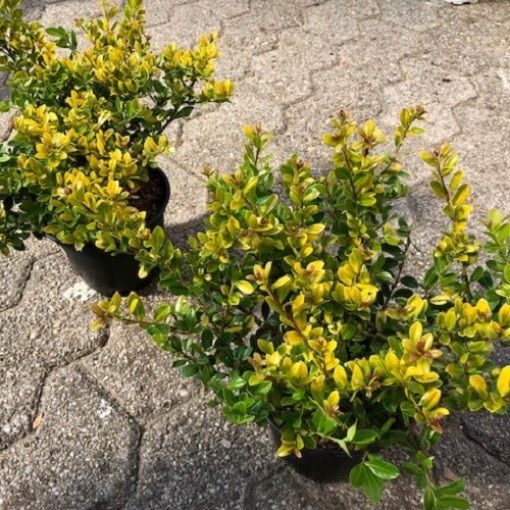 Ilex crenata 'Golden Gem' (Experts in Green)