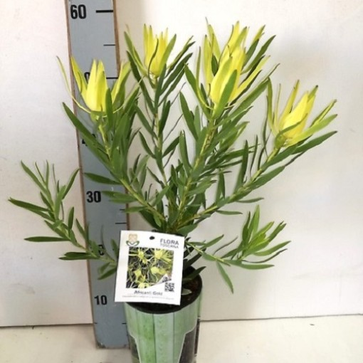 Leucadendron 'African Gold' (Flora Toscana)