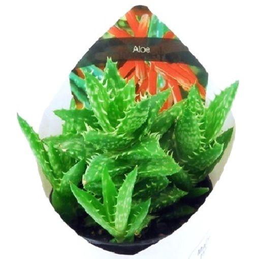 Aloe squarrosa (Giromagi)