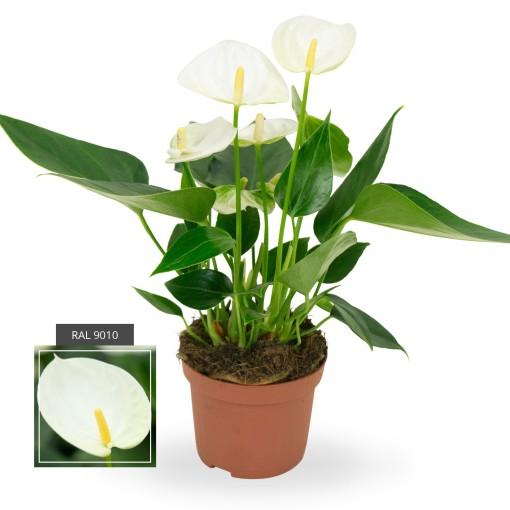 Anthurium ELIDO (Karma Plants)