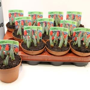 Tulipa 'Brilliant Star' (Gebr. Straathof)