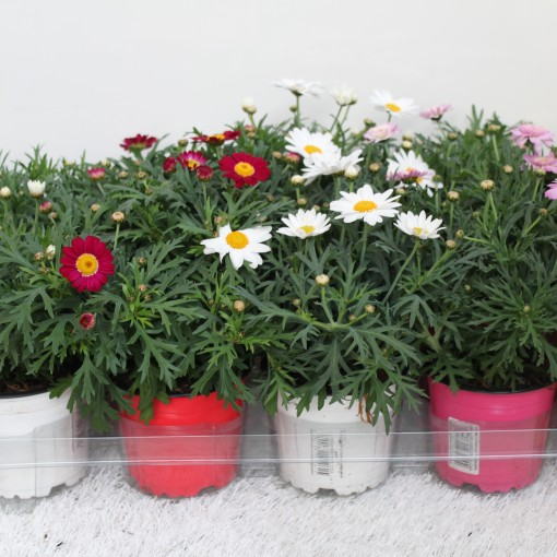 Argyranthemum frutescens MIX (Experts in Green)