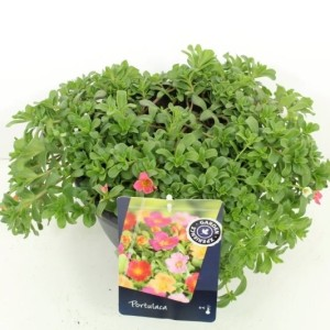 Portulaca MIX IN POT (Kwekerij de Noordpoel)