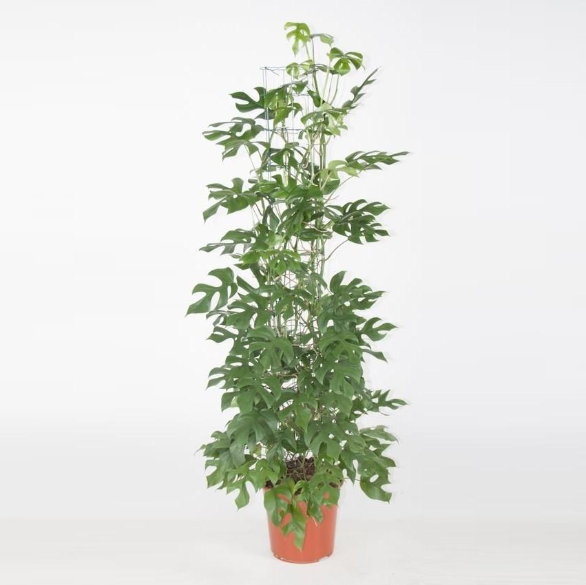 11cm Pentola 30cm + ALBERO amico Philodendron GREEN PRINCESS stanza pianta