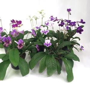 Streptocarpus MIX (Gasa DK)