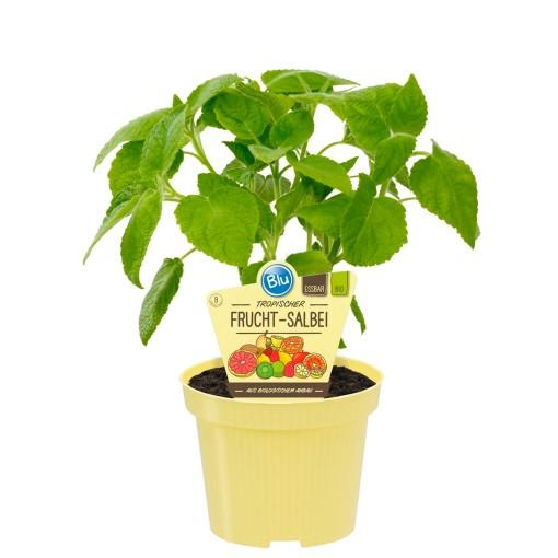 Salvia dorisiana (Experts in Green)