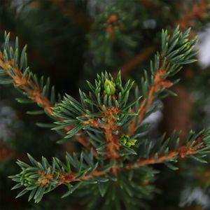 Picea abies 'Will's Zwerg' (Bremmer Boomkwekerijen)