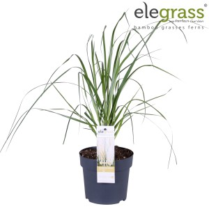 Cortaderia selloana 'White Feather' (Hoogeveen Plants)
