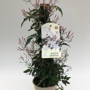 Jasminum polyanthum (Green Collect Sales)