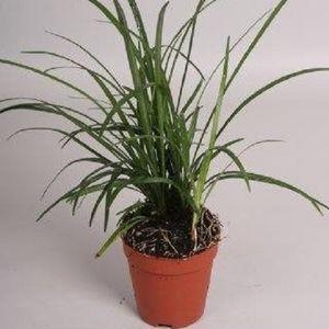 Liriope spicata (Handelskwekerij van der Velden)
