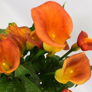 Zantedeschia 'Captain Fuego' (BB Plant)