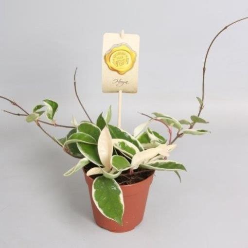 Hoya carnosa 'Krimson Queen' (Hkw. van der Velden)
