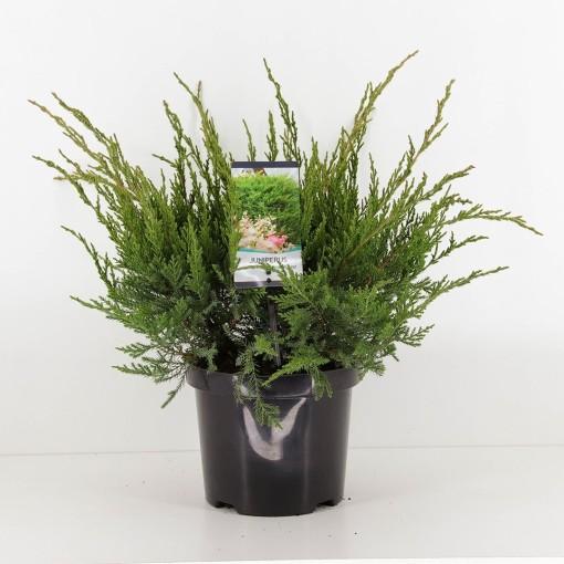 Juniperus x pfitzeriana 'Mint Julep' (Bremmer Boomkwekerijen)