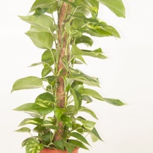 Epipremnum pinnatum (Ammerlaan, The Green Innovater)