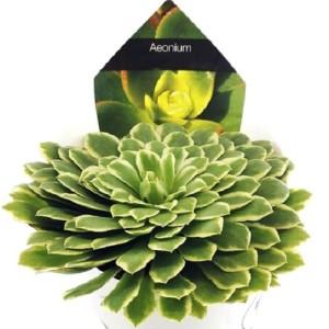 Aeonium 'Emerald Ice'