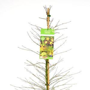 Acer palmatum 'Little Princess' (Son & Koot BV)