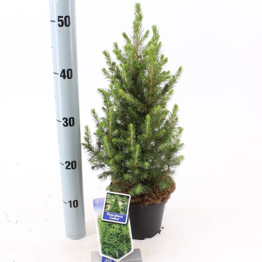 Picea glauca 'Conica' (About Plants Zundert BV)