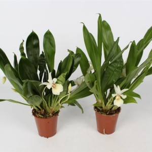 Cochleanthes MIX