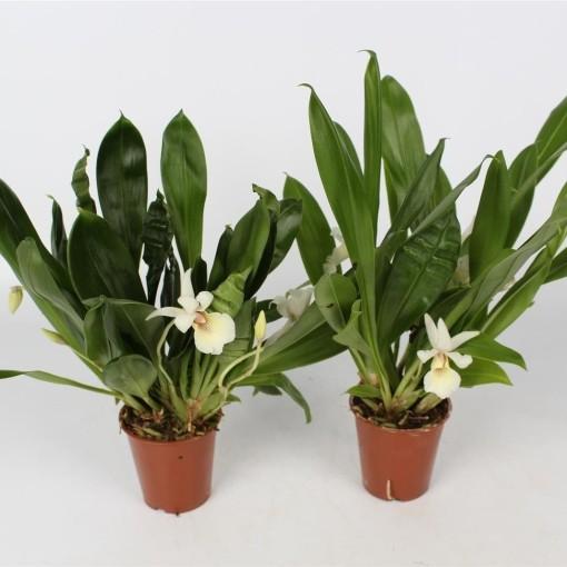 Cochleanthes MIX (Lansbergen Orchids)
