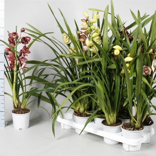 Cymbidium MIX (Lansbergen Orchids)