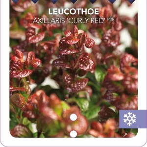 Leucothoe axillaris 'Curly Red' (Snepvangers Tuinplanten BV)