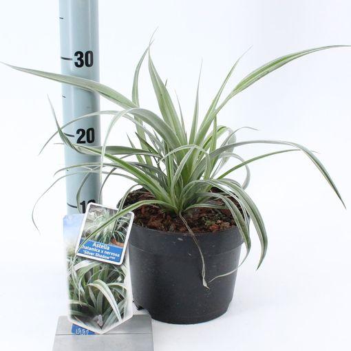 Astelia 'Silver Shadow' (About Plants Zundert BV)