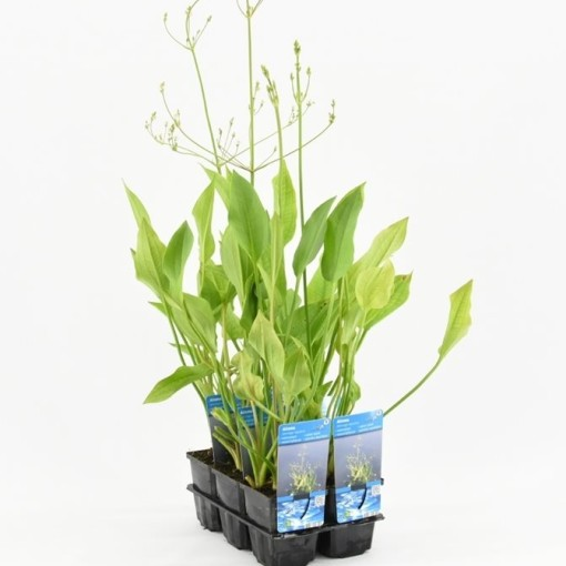 Alisma plantago-aquatica (Moerings Waterplanten)
