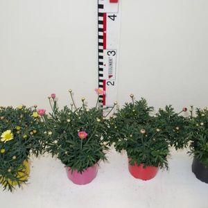 Argyranthemum frutescens MIX (Experts in Green)