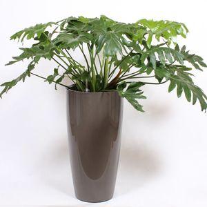 Philodendron selloum