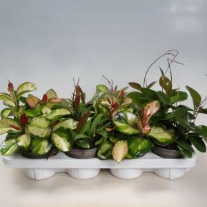 Hoya carnosa MIX