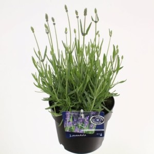 Lavandula angustifolia 'Hidcote' (Kwekerij de Noordpoel)