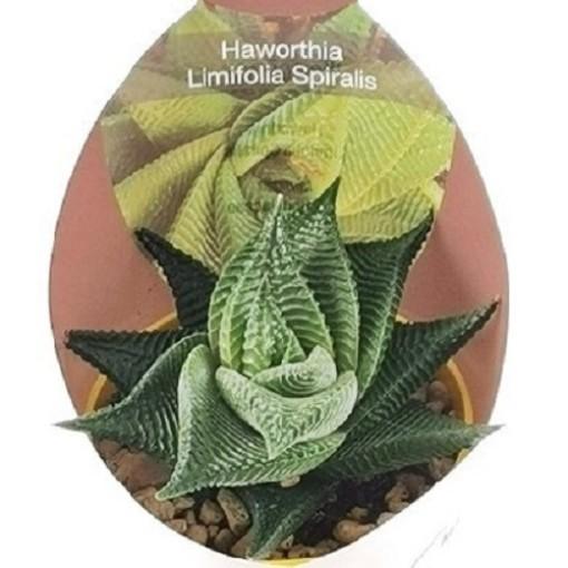 Haworthia limifolia 'Spiralis' (Giromagi)