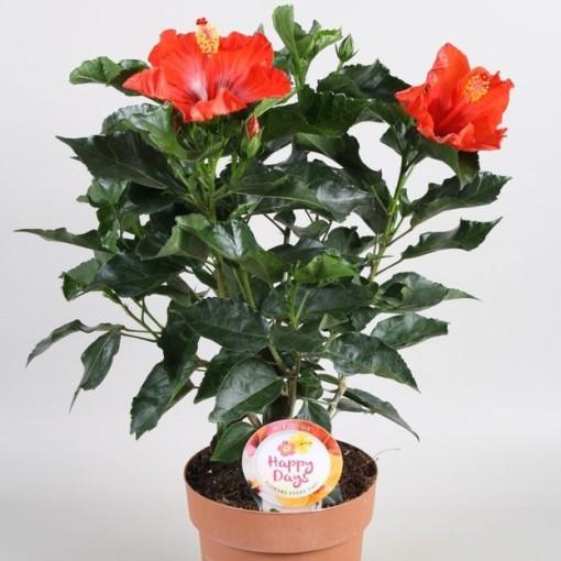 Hibiscus rosa-sinensis SUNNY PARIS (Vireõ Plant Sales)
