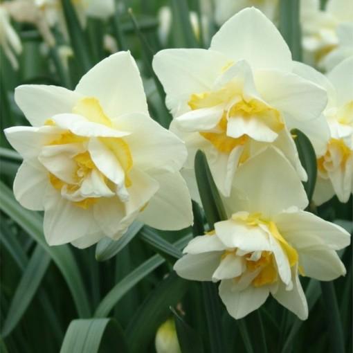 Narcissus 'White Lion' (Gasa DK)