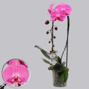 Phalaenopsis ANTHURA LAS PALMAS (Kwekerij Duijn-Hove B.V.)
