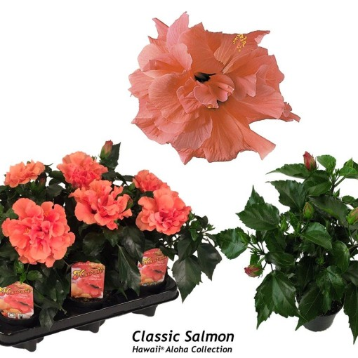 Hibiscus rosa-sinensis 'Classic Salmon' (Gasa DK)