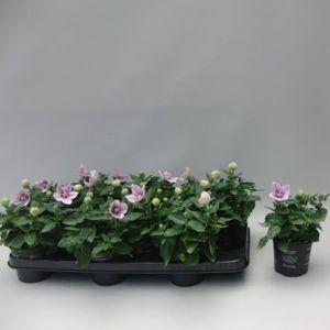 Platycodon grandiflorus ASTRA PINK (Sonneveld Plants)