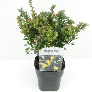 Berberis buxifolia 'Nana' (Hooftman boomkwekerij)