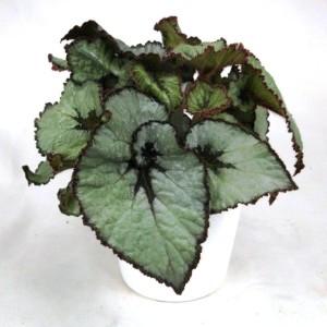 Begonia ESCARGOT