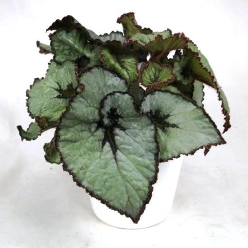 Begonia ESCARGOT (Gasa DK)