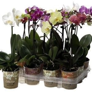 Phalaenopsis LITTLE KOLIBRI MIX (OK Plant)