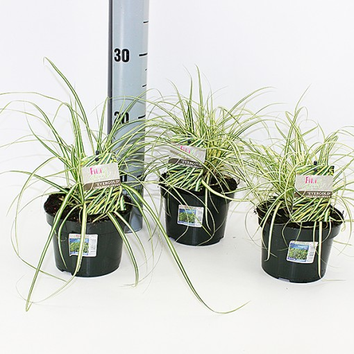 Carex oshimensis 'Evergold' (Experts in Green)