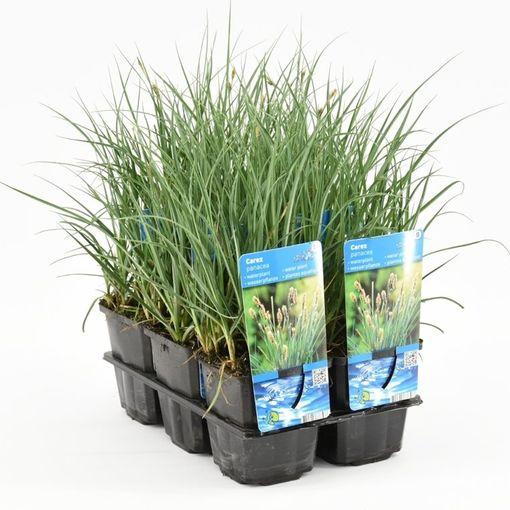 Carex panicea (Moerings Waterplanten)