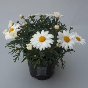 Argyranthemum frutescens LA RITA WHITE